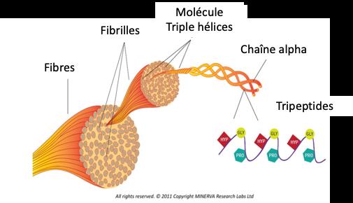 Organisation des fibres de collagène