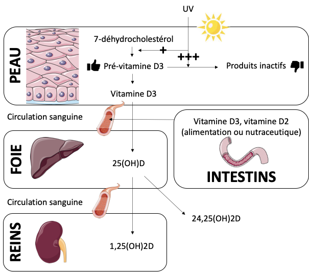 La vitamine D dans l'organisme