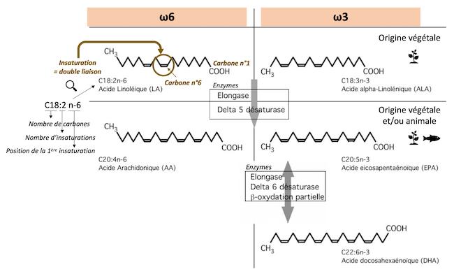 Voies de synthèse des oméga-6 et des oméga-3