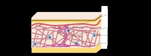 Structure schématisée de la peau
